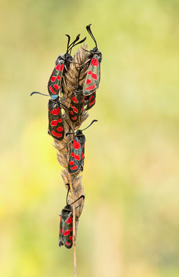 Esparsettenwidderchen (Zygaena carniolis)