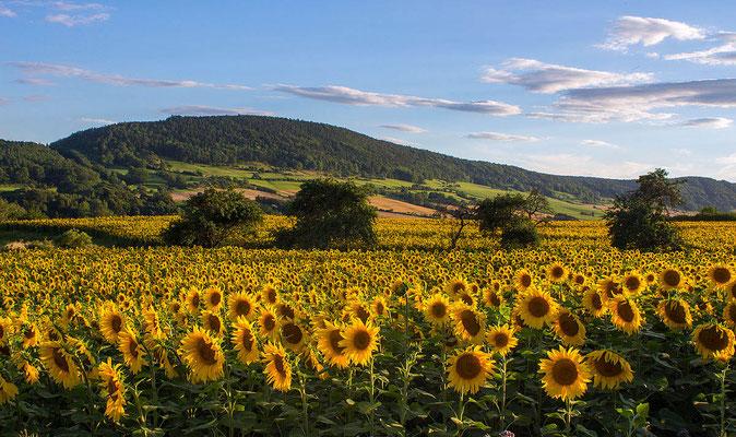 Sonnenblumenfeld in Thüringen
