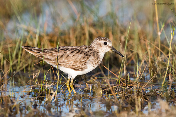 Least Sandpiper / Wiesenstrandläufer (Calidris minutilla) | Crooked Tree Wildlife Sanctuary/Belize, Februray 2017