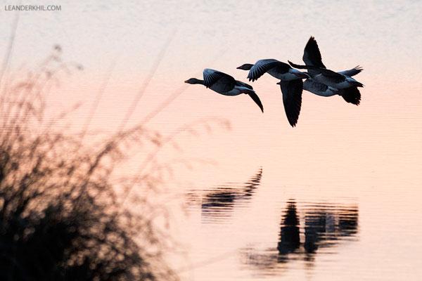 Graugans / Greylag Goose (Anser anser) | Seewinkel, April 2016