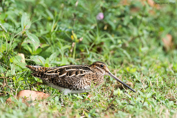 Wilson's Snipe / Wilson-Bekassine (Gallinago delicata) | Crooked Tree Wildlife Sanctuary/Belize, Februray 2017