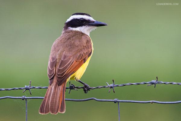Vermilion Flycatcher / Schwefeltyrann (Pitangus sulphuratus) | Crooked Tree Wildlife Sanctuary/Belize, Februray 2017