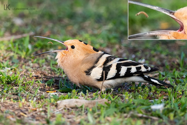 Hoopoe / Wiedehopf (Upupa epops) | Apetlon, April 2020