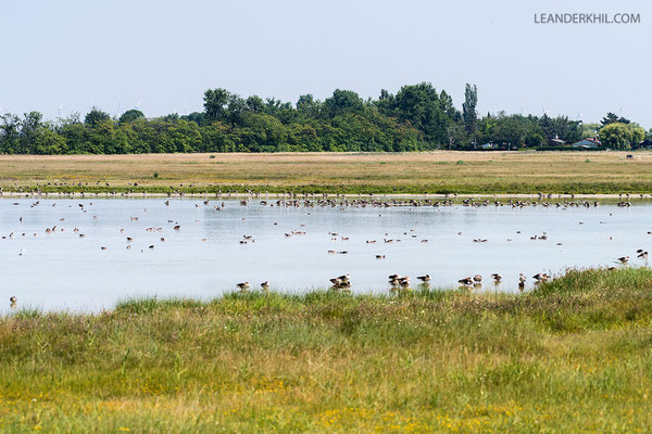 At the height of summer, Östliche Wörthenlacke was one of only very few salt lakes in the area that had a good water level and hosted thousands of waterbirds.