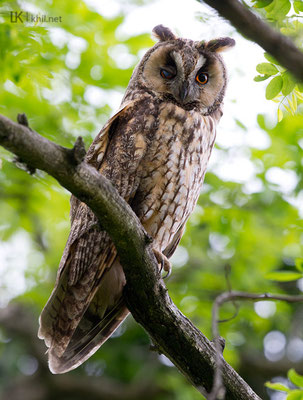 Long-eared Owl / Waldohreule
