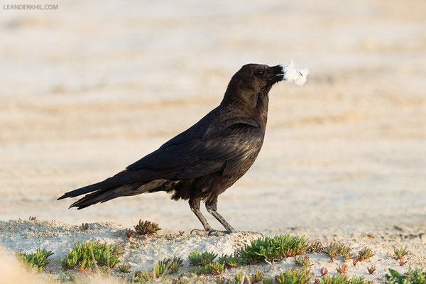 Wüstenrabe / Brown-necked Raven (Corvus ruficollis) | Qeshm, Iran, 2016
