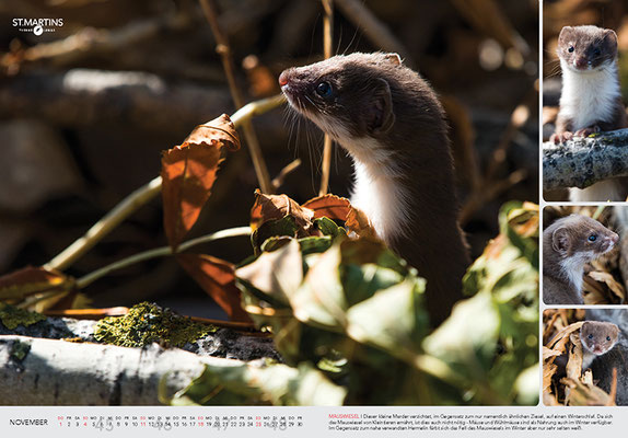 XI Mauswiesel / Least Weasel