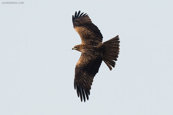 Schwarzmilan / Black-eared Kite (Milvus migrans lineatus) | Ras Al Khor, Dubai, March 2016