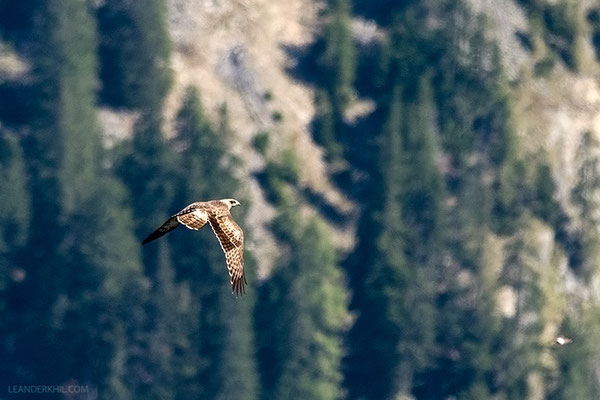 Wespenbussard / Honey Buzzard (Pernis apivorus) | First-year bird migrating towards Mt. Speikkogel, August 2016