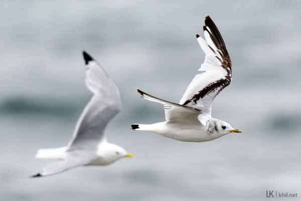 Dreizehenmöwe / Black-legged Kittiwake (Rissa tridactyla) | Adult and 2 cy. Vadsø/Norway, June 2015