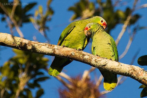 Red-lored parrot / Rotstirnamazone (Amazona autumnalis) | Chan Chich lodge, February 2017