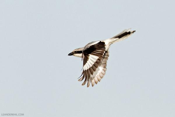 Mittelmeer-Raubwürger / Southern Grey Shrike (Lanius excubitor aucheri) | Qeshm/Iran, February 2016