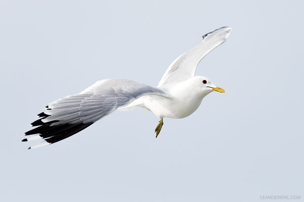 Sturmmöwe / Common Gull (Larus canus) | Amrum, Germany, June 2016