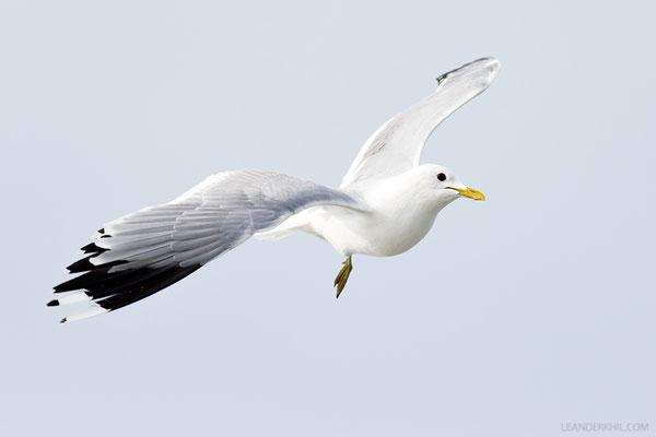 Sturmmöwe / Common Gull (Larus canus) | Amrum, Germany, June 2016