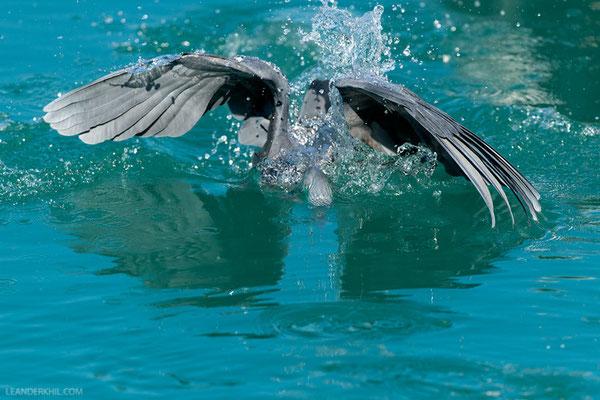 Küstenreiher / Western Reef Heron (Egretta gularis) | Qeshm/Iran, February 2016
