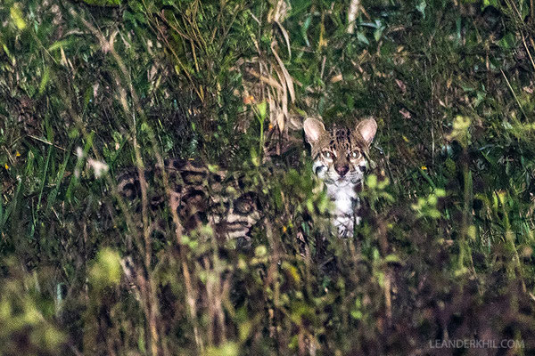 Ocelot / Ozelot (Leopardus pardalis) | Gallon Jug farm, February 2017