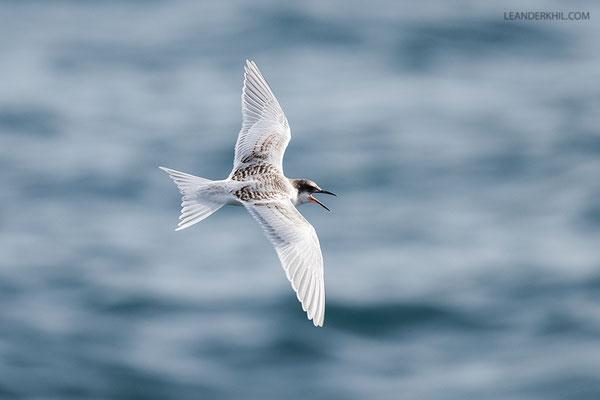 Rosenseeschwalbe / Roseate tern (Sterna dougallii) | Juvenile flying.