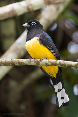 Black-headed trogon / Schwarzkopftrogon (Trogon melanocephalus) | Male. Chan Chich lodge, February 2017