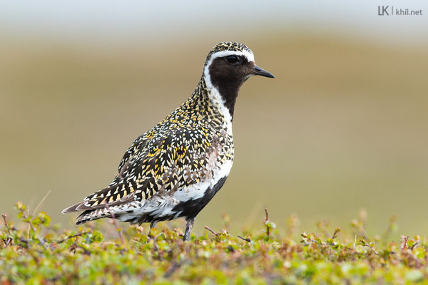 Goldregenpfeifer / European Golden Plover (Pluvialis apricaria) | Varanger/Norway, June 2015