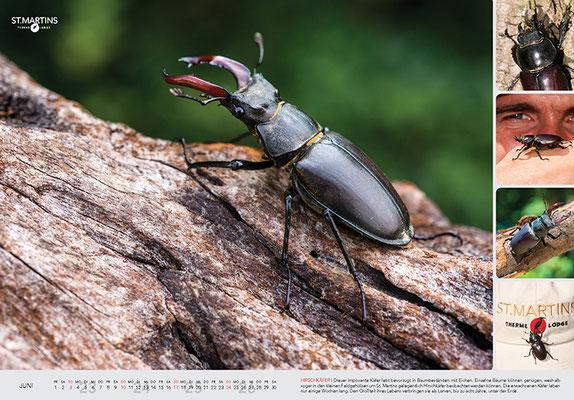 VI Hirschkäfer / Stag Beetle