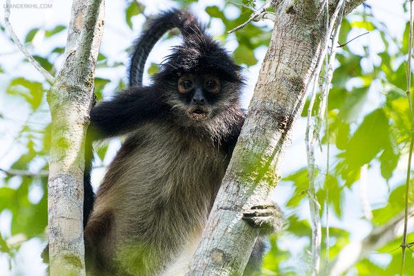 Geoffroy Klammeraffe / Geoffroy's spider monkey (Ateles geoffroyi) | Tikal, December 2016