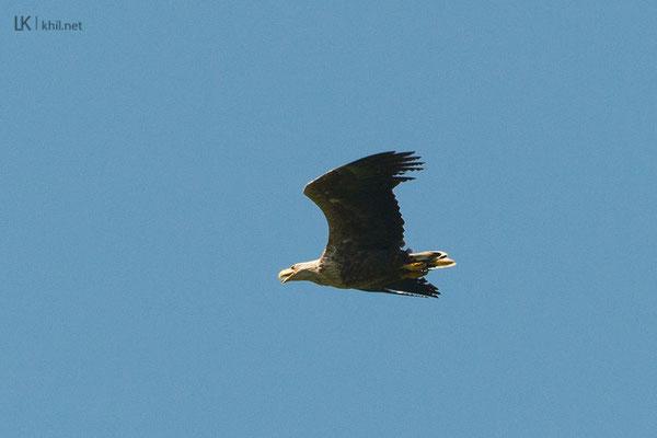 Subadult White-tailed Eagle / Seeadler, Malé Lévare/Slovakia