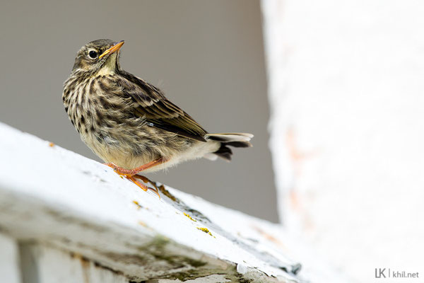 Strandpieper / Rock Pipit (Anthus petrosus) | Juvenile. Hornøya/Norway, June 2015