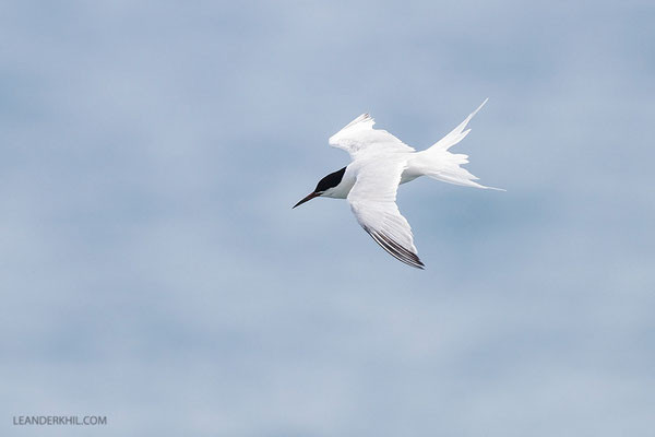 Rosenseeschwalbe / Roseate tern (Sterna dougallii) | Adult flying.