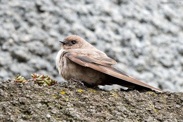 Felsenschwalbe / Eurasian Crag Martin (Ptyonoprogne rupestris) | Adult in active wing moult. Moos, South Tyrol, August 2015