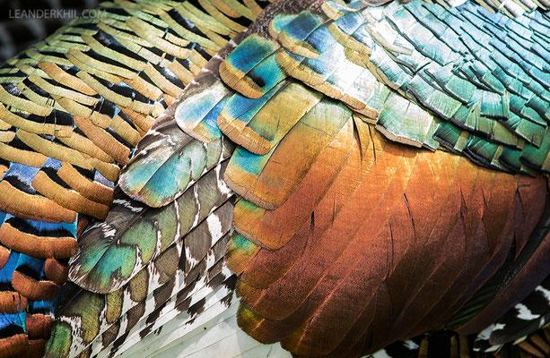 Ocellated turkey / Pfauentruthuhn (Meleagris ocellata) | Chan Chich lodge, February 2017
