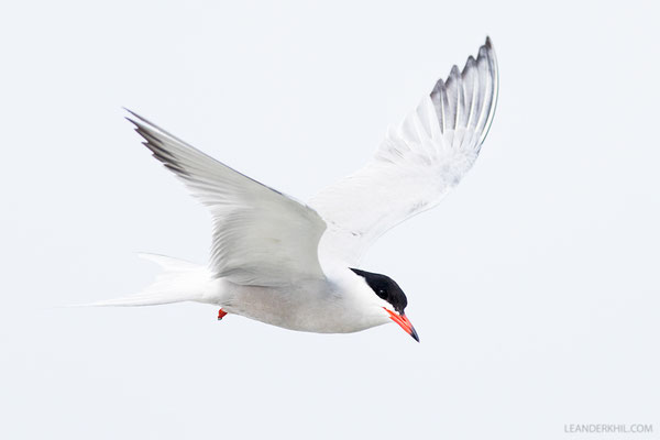 Flussseeschwalbe / Common Tern (Sterna hirundo) | Hallig Hooge, Germany, June 2016