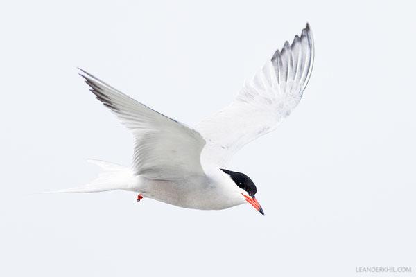 Flussseeschwalbe / Common Tern (Sterna hirundo) | Hallig Hooge, Germany, June 2016