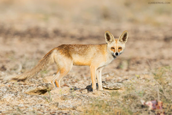 Rotfuchs / Red Fox (Vulpes vulpes) | The small, pale and large-eared foxes on Qeshm are considered to be Red Foxes but current research might soon draw a new image. Qeshm/Iran, February 2016