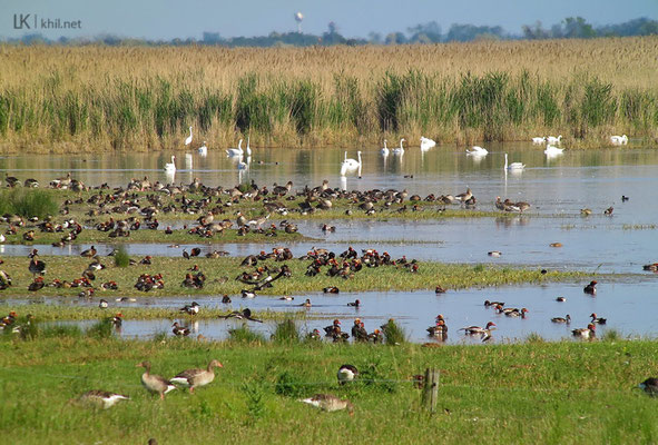 Plenty of Red-crested Pochards / Kolbenenten at Sandeck