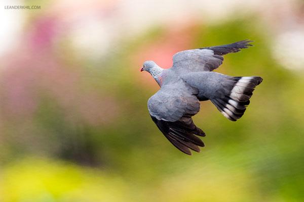 Trocaz Pigeon / Silberhalstaube (Columba trocaz) | Porto Moniz, Madeira
