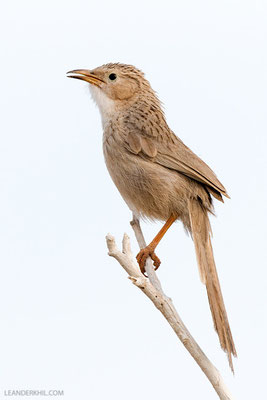 Afghan Babbler (Turdoides huttoni) | Adult singing. Afghan Babblers were commonly seen in the western parts of the island, singly or in small groups. This very noisy species calls attention by a characteristic song, reminding of Grey-headed Woodpecker. Q