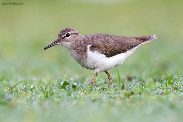 Spotted Sandpiper / Drosseluferläufer (Actitis macularia) | Crooked Tree Wildlife Sanctuary/Belize, Februray 2017