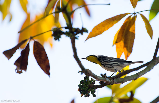 Goldkehlwaldsänger / Yellow-throated Warbler (Dendroica dominica) | Flores, December 2016