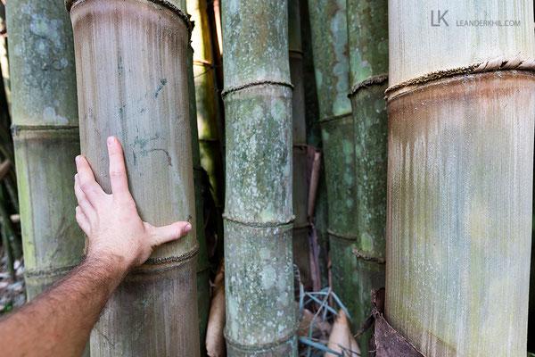 """""""Los Tarrales"""" bedeutet Bambus - die Exemplare auf der Finca haben enorme Ausmaße"""
