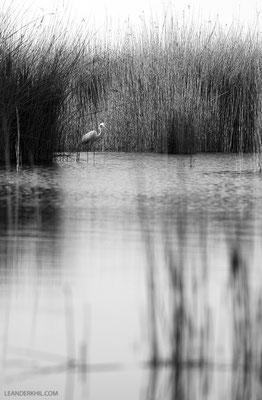 Silberreiher / Great Egret (Casmerodius albus) |Seewinkel, April 2016