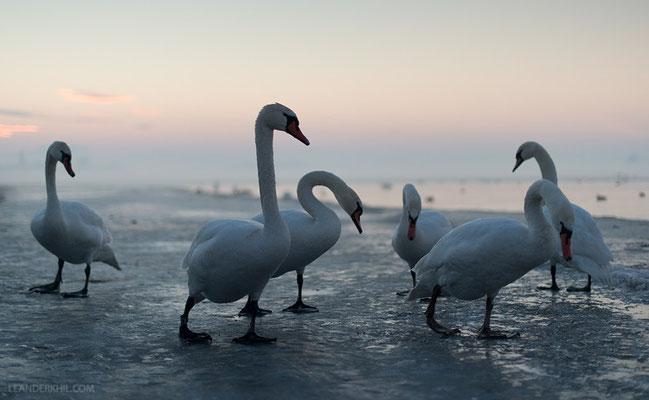 Höckerschwäne / Mute Swans