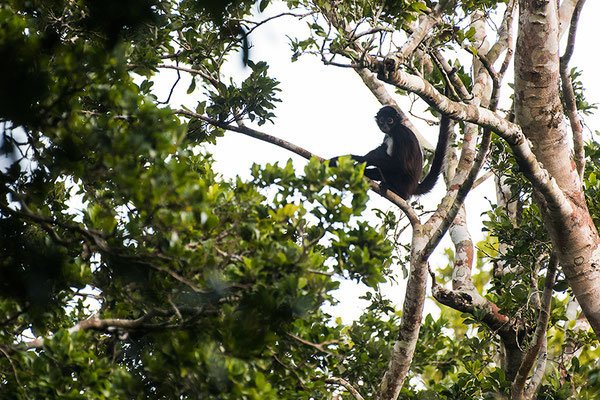 Geoffroy's spider monkey / Geoffroy-Klammeraffe (Ateles geoffroyi) | Chan Chich lodge, February 2017