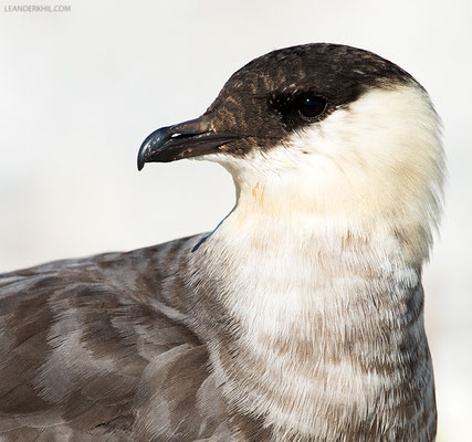 Falkenraubmöwe / Long-tailed Skua (Stercorarius longicaudus) | 3rd calendar-year. Seebad Illmitz, September 2016