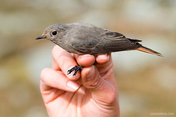 Hausrotschwanz / Black Redstart (Phoenicurus ochruros)