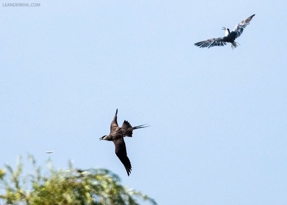 Falkenraubmöwe / Long-tailed Skua (Stercorarius longicaudus) | Catching a fish robbed from a Common Tern in mid-air. Seebad Illmitz, September 2016