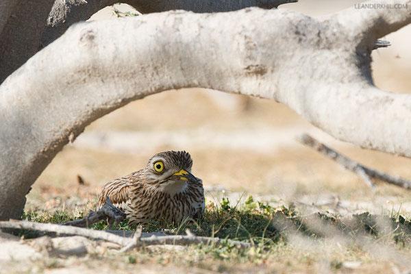 Triel / Stone Curlew (Burhinus oedicnemus) | Qeshm/Iran, February 2016