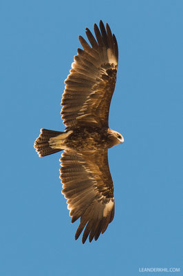 Schelladler / Greater Spotted Eagle (Aquila clanga) | Qeshm, Iran, 2016