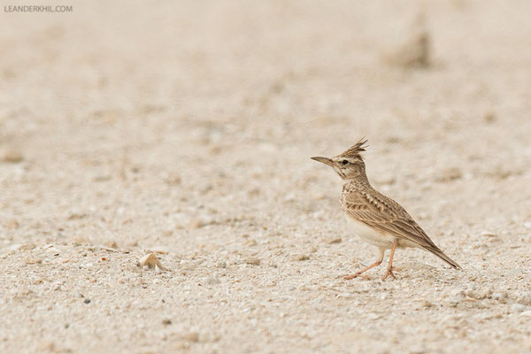 Haubenlerche / Crested Lark (Galerida cristata) | Which subspecies? Creek, Dubai, February 2016