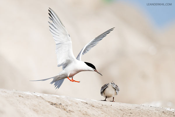 Rosenseeschwalbe / Roseate tern (Sterna dougallii) | Landing adult.