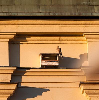 Falken-Nisthilfe mit Turmfalke auf der Grazer Franziskanerkirche